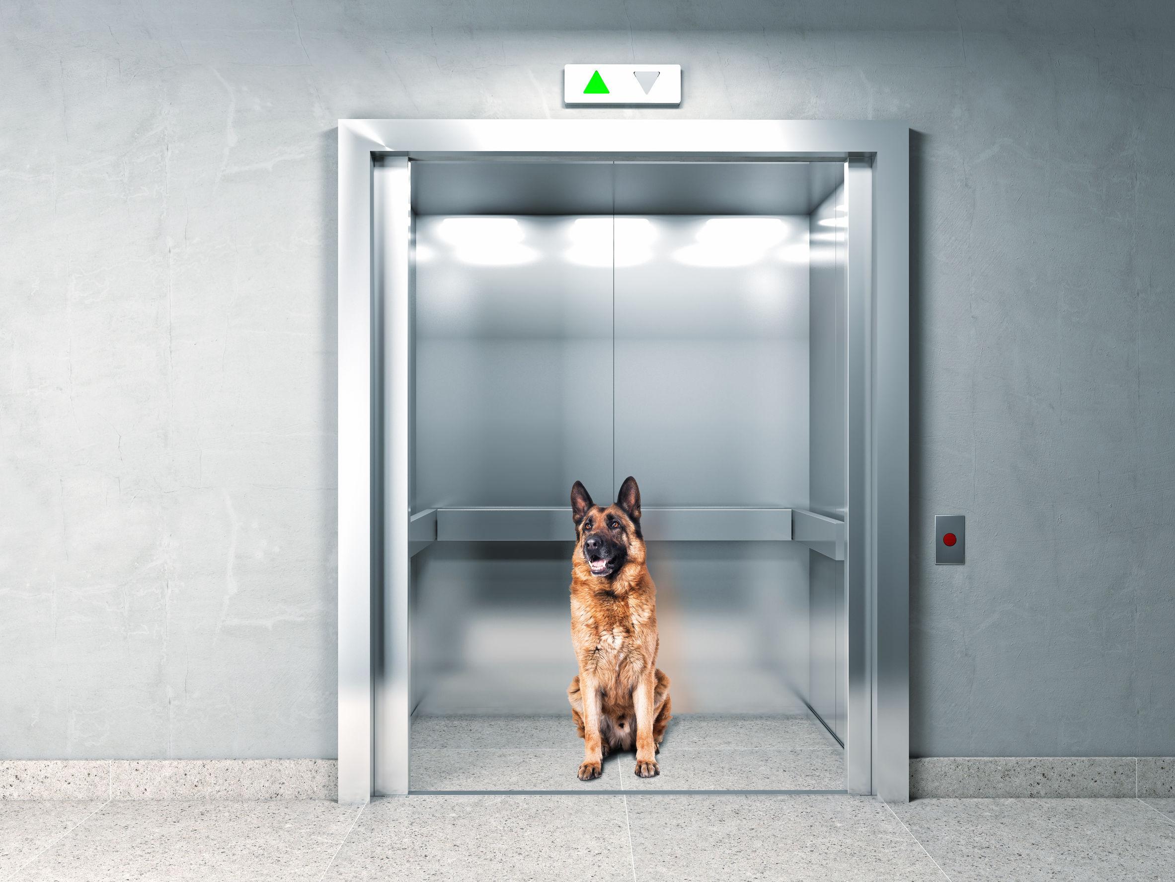 38558408 - classic elevator and german shepherd